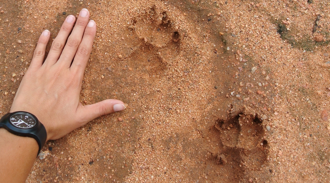 Projects Abroad conservation group volunteer in Botswana places hand next to animal tracks